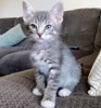 A picture of #ET03373: Mason a Domestic Short Hair silver tabby/white
