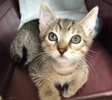 A picture of #ET03374: Morgan a Domestic Short Hair brown tabby