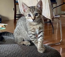 [another picture of Morgan, a Domestic Short Hair brown tabby\ cat]