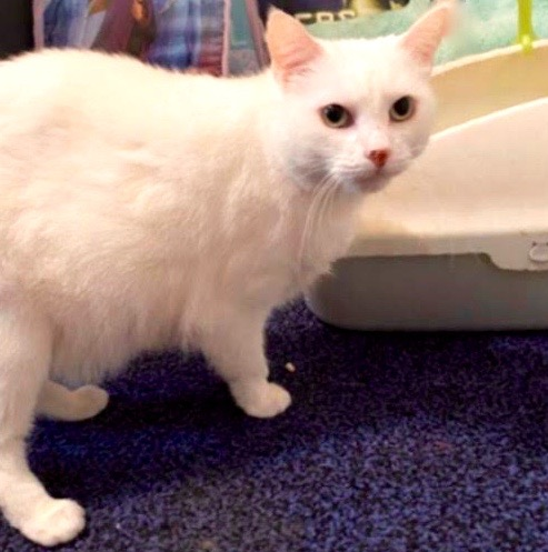 [picture of Marie, a Domestic Short Hair white\ cat]