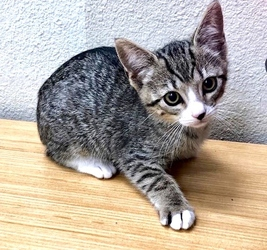 [picture of Scarlett, a Domestic Short Hair brown tabby/white cat]