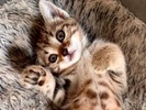 A picture of #ET03378: Tia a Domestic Short Hair marble tabby