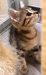 [picture of Taz, a Domestic Short Hair marble tabby cat]