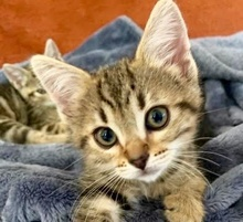 [picture of Taz, a Domestic Short Hair marble tabby\ cat]