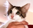 A picture of #ET03381: Sophio a Domestic Long Hair black/brown tabby/white