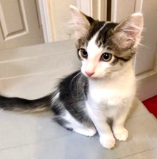 [another picture of Sophio, a Domestic Long Hair black/brown tabby/white\ cat]