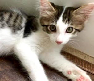 [picture of Sophio, a Domestic Long Hair black/brown tabby/white cat]