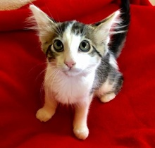 [picture of Sophio, a Domestic Long Hair black/brown tabby/white\ cat]