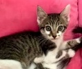 A picture of #ET03382: Tucker a Domestic Medium Hair black/brown tabby/white