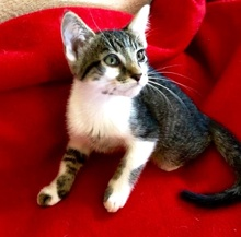 [another picture of Tucker, a Domestic Medium Hair black/brown tabby/white\ cat]
