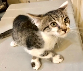 [picture of Tucker, a Domestic Medium Hair black/brown tabby/white cat]