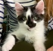 A picture of #ET03383: Oreo a Domestic Long Hair black/white