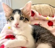 A picture of #ET03384: Cookie a Domestic Long Hair brown tabby/white