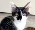 A picture of #ET03386: Snickers a Domestic Long Hair black/white