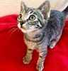 A picture of #ET03387: Lupin a Domestic Short Hair brown tabby