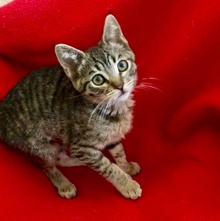 [another picture of Puck, a Domestic Short Hair brown tabby\ cat]