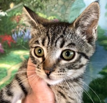 [picture of Puck, a Domestic Short Hair brown tabby\ cat]