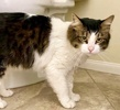 A picture of #ET03389: Perry Como a Maine Coon-x brown tabby/white