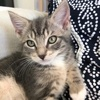 A picture of #ET03390: Big Brother a Domestic Short Hair silver