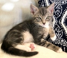 [another picture of Big Brother, a Domestic Short Hair silver\ cat]
