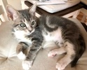 A picture of #ET03392: Ivy a Domestic Short Hair blue marble/white