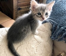 [another picture of Cecily, a Domestic Short Hair silver\ cat]