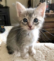 [picture of Cecily, a Domestic Short Hair silver\ cat]