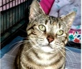 A picture of #ET03395: Roberta a Domestic Short Hair torbie