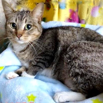 [picture of Hasanna, a Domestic Short Hair gray tabby/white\ cat]