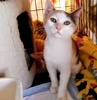 A picture of #ET03398: Mix Berry a Domestic Short Hair calico