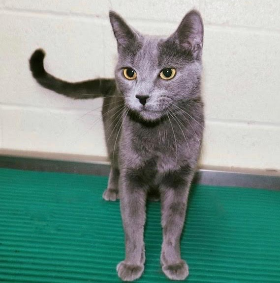 [picture of Swayze, a Domestic Short Hair blue\ cat]
