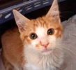 A picture of #ET03401: Humphry a Domestic Short Hair white/orange