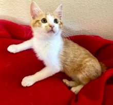 [picture of Humphry, a Domestic Short Hair white/orange cat]