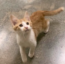 [picture of Humphry, a Domestic Short Hair white/orange\ cat]