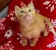 A picture of #ET03402: Pawzie a Domestic Short Hair orange
