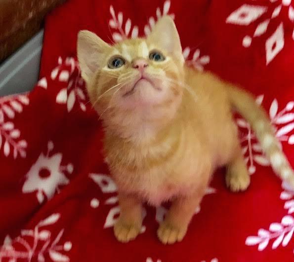 [picture of Pawzie, a Domestic Short Hair orange\ cat]
