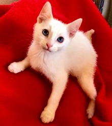 [another picture of Wazz, a Siamese Mix flame point\ cat]
