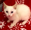 [picture of Wazz, a Siamese Mix flame point cat]