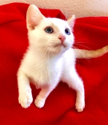 [picture of Wazz, a Siamese Mix flame point\ cat]