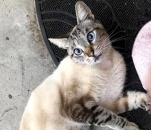 [picture of Sam I Am, a Siamese Mix lynx point\ cat]
