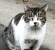 A picture of #ET03406: Mister Man a Domestic Short Hair gray tabby/white