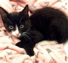 [another picture of Dippi, a Domestic Short Hair black/white\ cat]