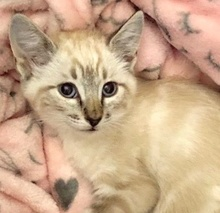[picture of Deana, a Siamese Mix lynx point\ cat]