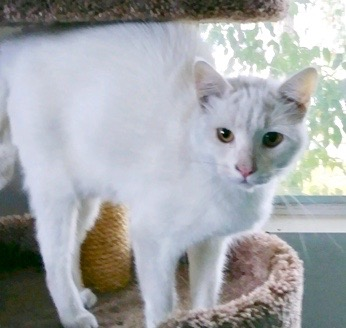 [picture of Autumn, a Domestic Short Hair white\ cat]