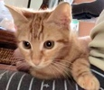 A picture of #ET03410: Little Red a Domestic Short Hair orange marble