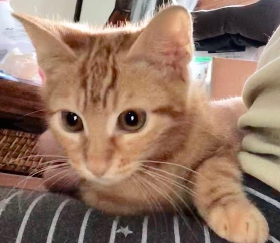 [picture of Little Red, a Domestic Short Hair orange marble\ cat]