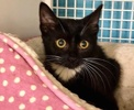 A picture of #ET03411: Sweet Sara a Domestic Short Hair black/white