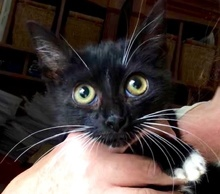 [picture of Sweet Sara, a Domestic Short Hair black/white cat]