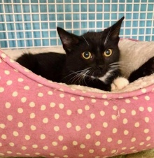 [picture of Sweet Sara, a Domestic Short Hair black/white\ cat]