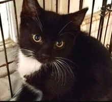 [another picture of Caper, a Domestic Short Hair black/white\ cat]